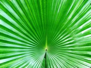 fan-palm-1555429
